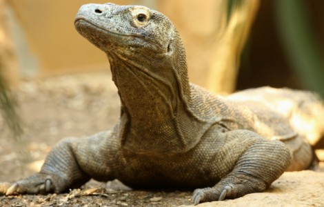 Portrait of a Komodo Dragon