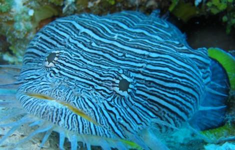 Cozumel Toad fish