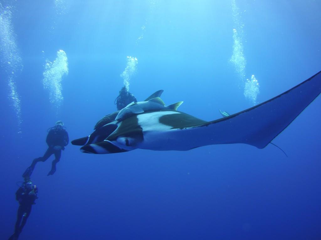 Socorro 31 giant manta