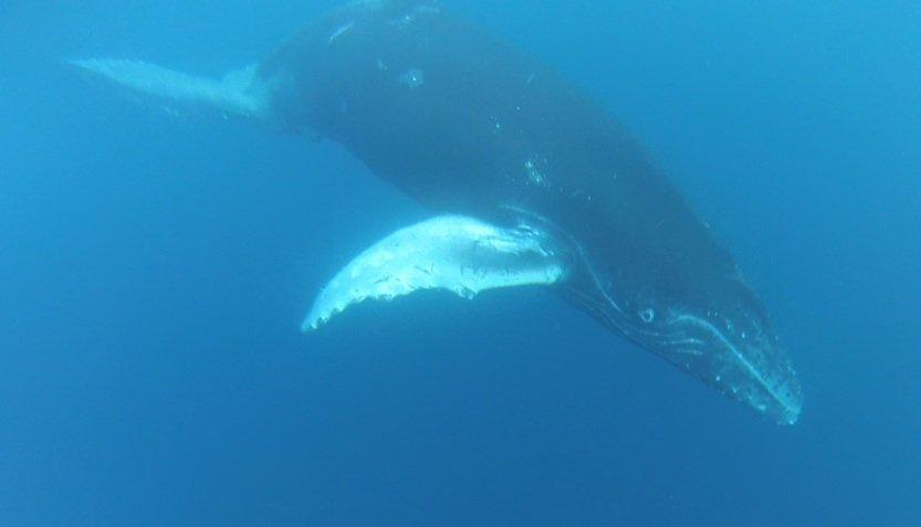 Socorro Baby whale